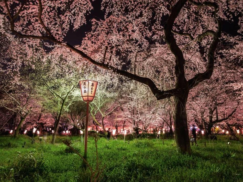 cherry-blossoms-japan-cook-jenshel_65142_990x742